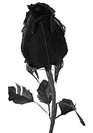 Betrayed Black Rose Gray Scaled